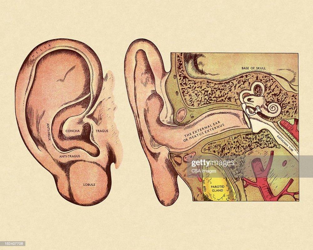medium resolution of diagram of ear stock illustration