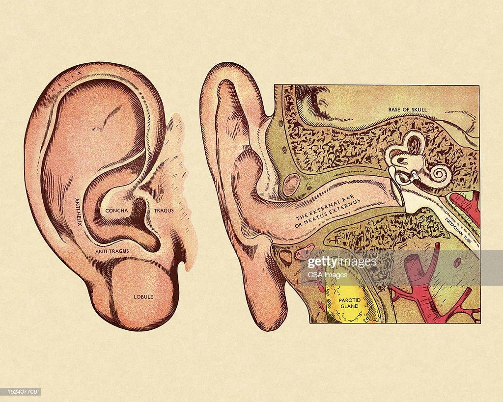 hight resolution of diagram of ear stock illustration