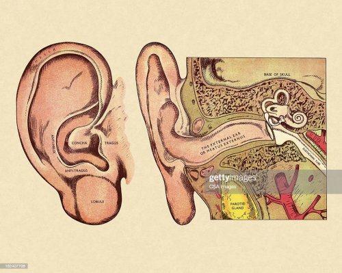 small resolution of diagram of ear stock illustration
