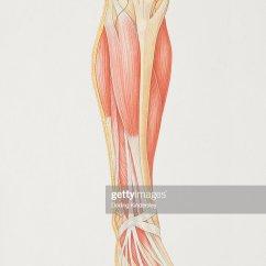 Lower Leg Nerve Diagram Wiring For Radio 1996 Ford Explorer Of Illustrating Muscle Groups Nerves And Veins Stock Illustration