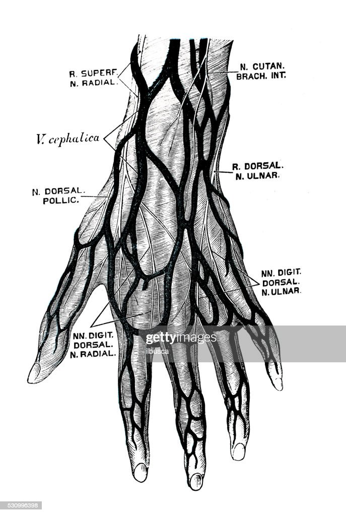hand nerves diagram simple switch wiring human anatomy scientific illustrations stock illustration