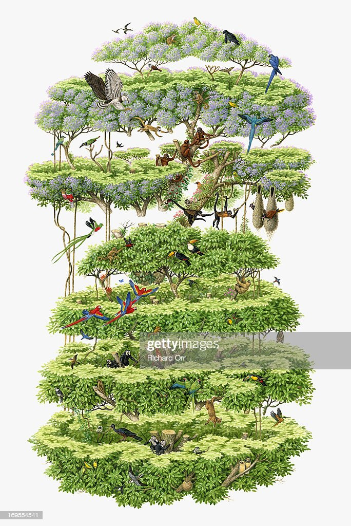 Graphic Tree Diagram Illustration Crosssection Of Rainforest Canopy Showing