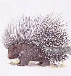 illustration of crested porcupine hystrix cristata with raised quills [ 1024 x 834 Pixel ]