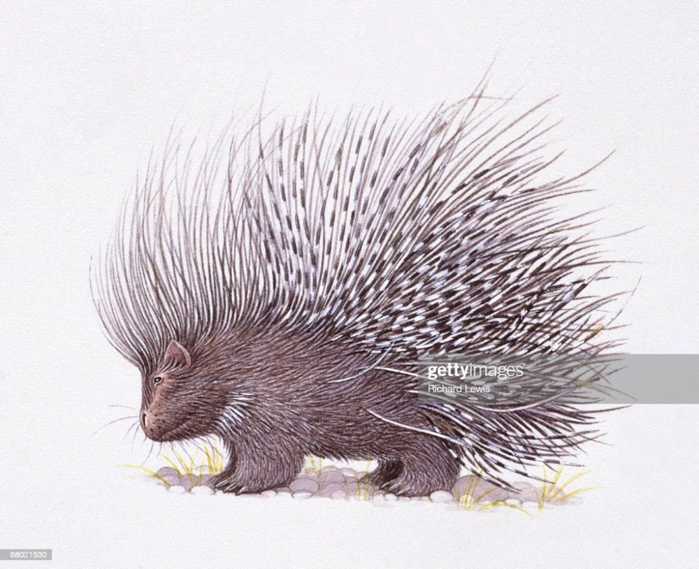 medium resolution of illustration of crested porcupine hystrix cristata with raised quills