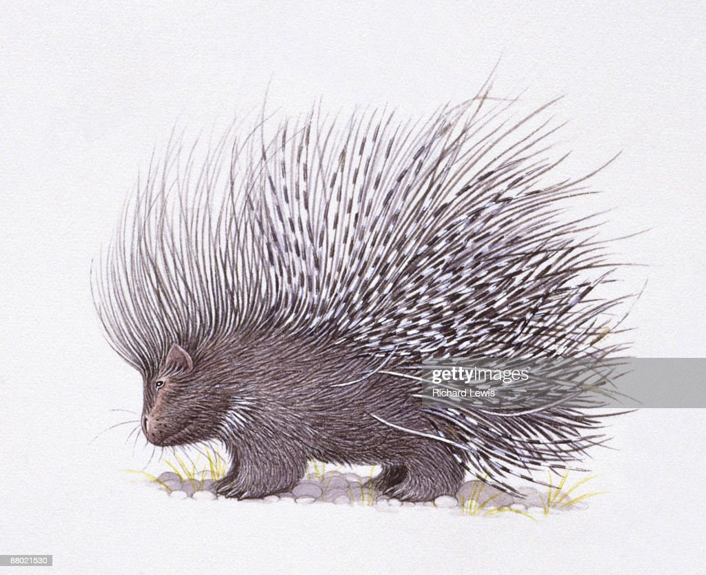 hight resolution of illustration of crested porcupine hystrix cristata with raised quills