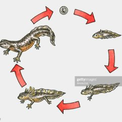 Lizard Life Cycle Diagram 3 Wire Pickup Wiring Illustration Of A Newt Stock