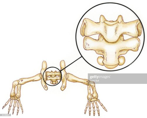 small resolution of illustration of lizard pelvic girdle and sacral vertebrae between legs with close up of sacral