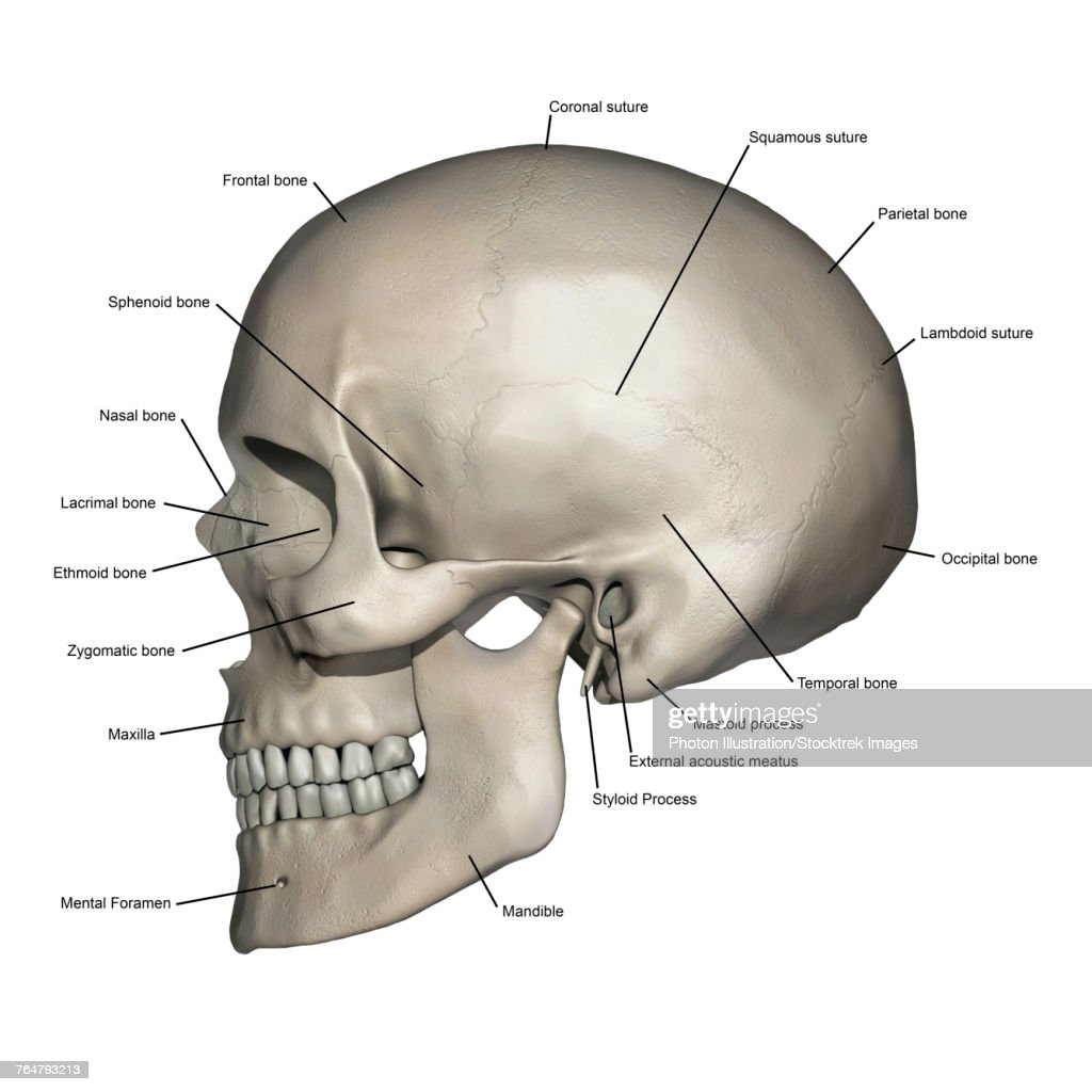 diagram of skull superior view anatomy 2000 ford expedition starter wiring lateral human with annotations stock