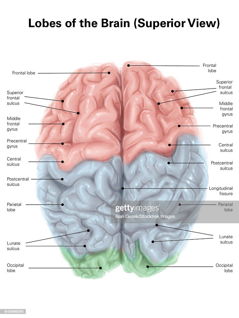 human brain diagram label honeywell motorized valve wiring superior view of with colored lobes and labels stock illustration
