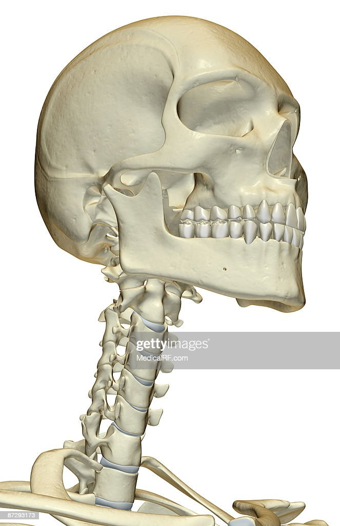 human skeleton and muscles diagram vw transporter t5 abs wiring neck – defenderauto.info