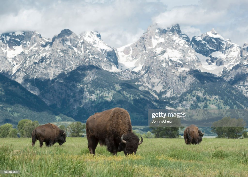 American Bison Stock Photos and Pictures Getty Images