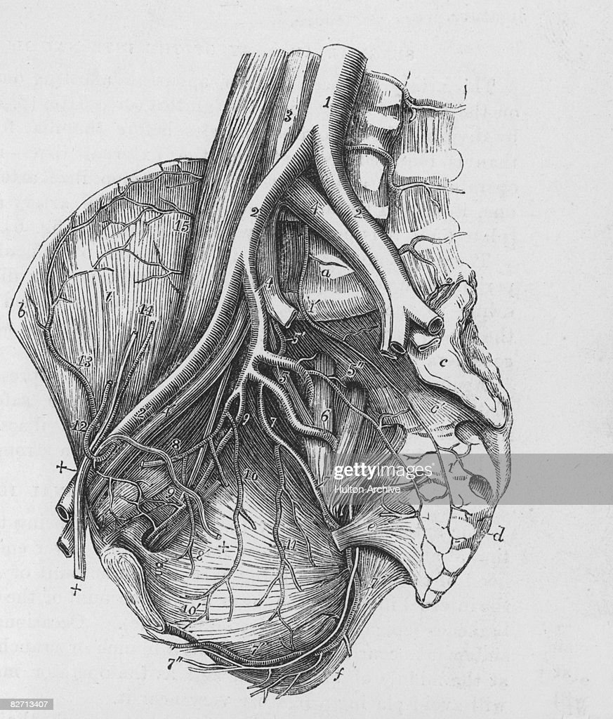 realistic heart diagram sun labeled human stock photos and pictures an anatomical showing the arteries of circa 1930