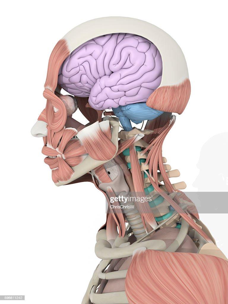 inside skull diagram 2000 chevy truck radio wiring anatomy color coded brain 3d illustration stock photo