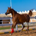 Arabian Horse Running In Alhazm Stud Najran Province Khubash Saudi News Photo Getty Images