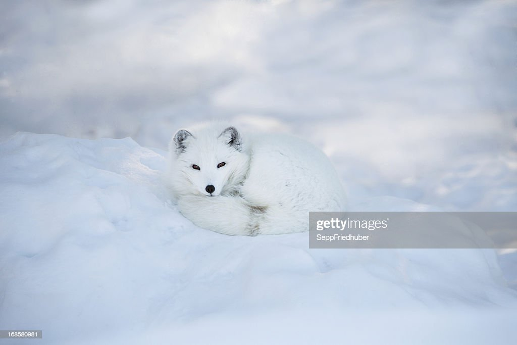 60 top arctic fox