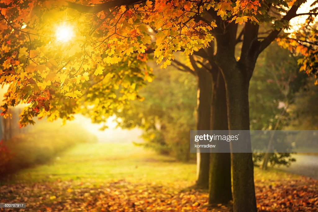 Full Screen Desktop Fall Leaves Wallpaper Autumn Tree And Sun During Sunset Fall In Park Stock Photo