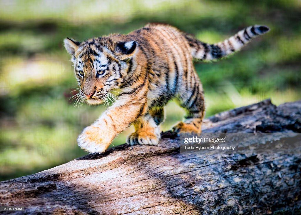 Animal Print Desktop Wallpaper Babytiger Walking On Fallen Log Stock Photo Getty Images