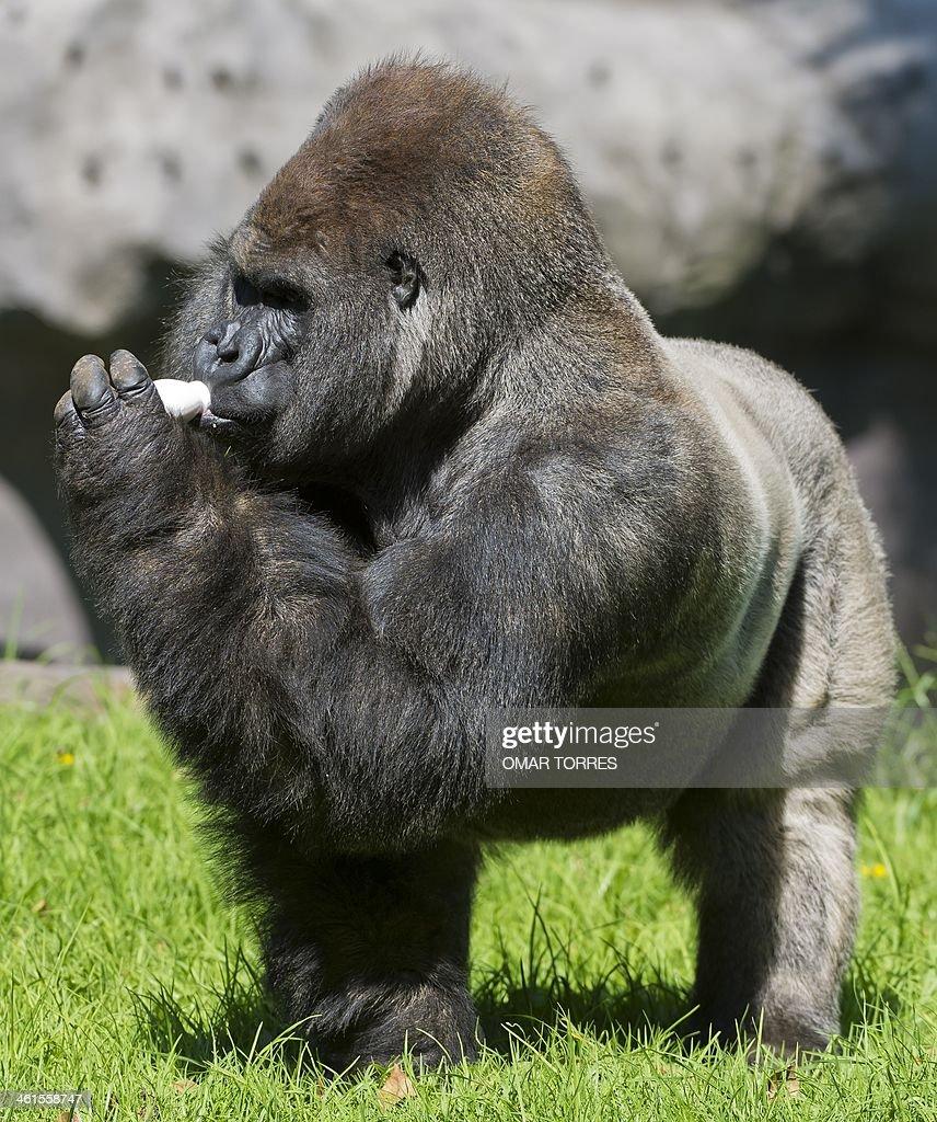 bantu a silverback gorilla