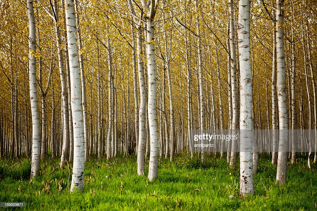 60 top birch tree