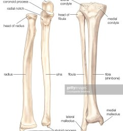 bones of the forearm and lower leg the radius and the ulna bones of the forearm [ 870 x 1024 Pixel ]