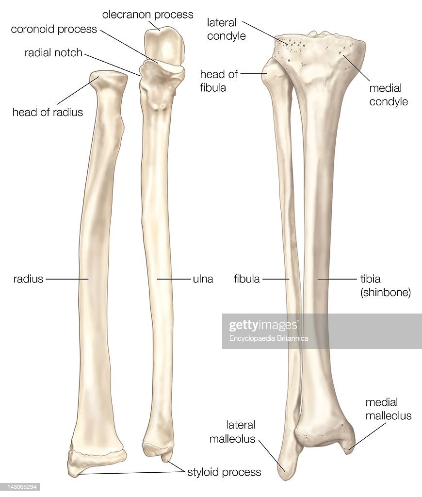 hight resolution of bones of the forearm and lower leg the radius and the ulna bones of the forearm
