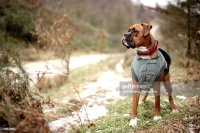 Boxer Dog In Coat Stock Photo | Getty Images