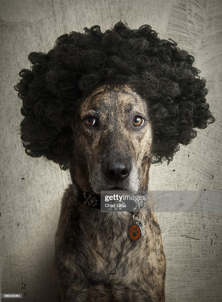 Brindle Boxerlab Mix With A Crazy Hairdo HighRes Stock