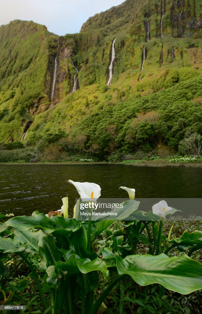 National Flower Of Portugal : national, flower, portugal, Portugal, National, Flower, Photos, Premium, Pictures, Getty, Images