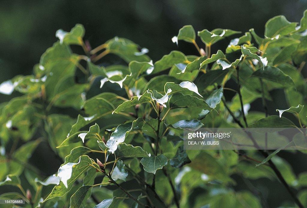 60點のクスノキの畫像/寫真/イメージ - Getty Images