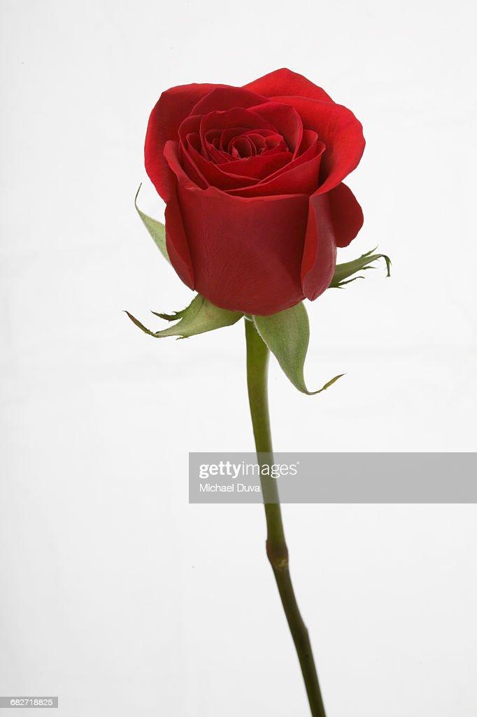 60 top single rose