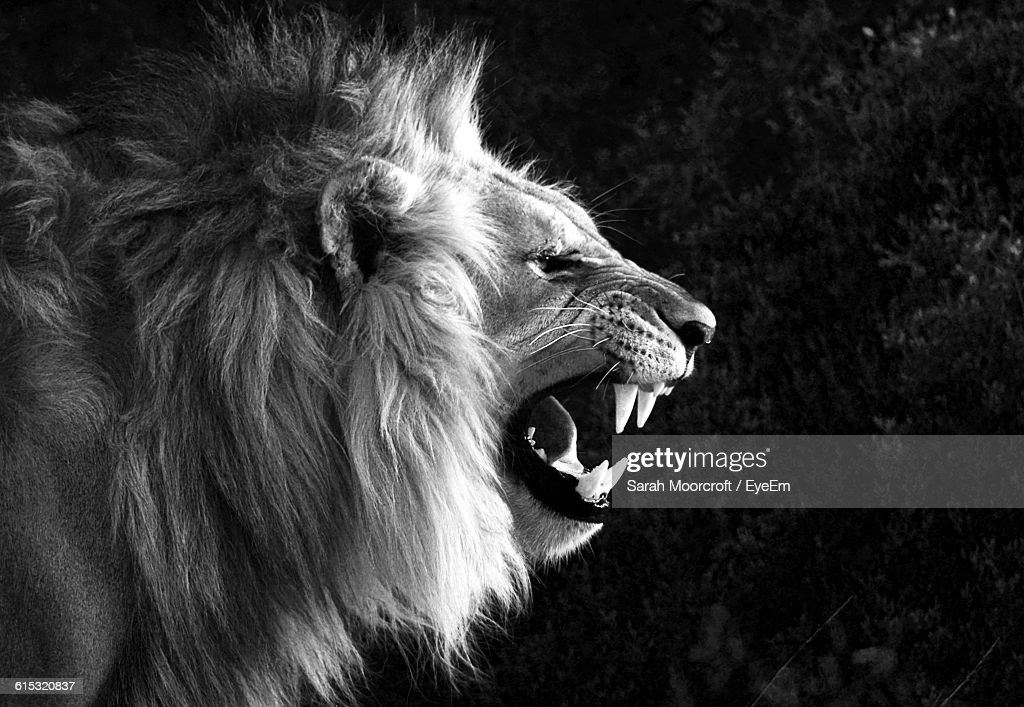closeup of angry lion
