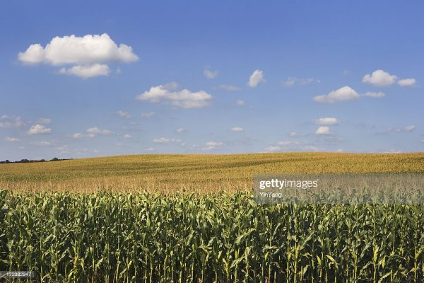 corn crop cereal plant in agricultural