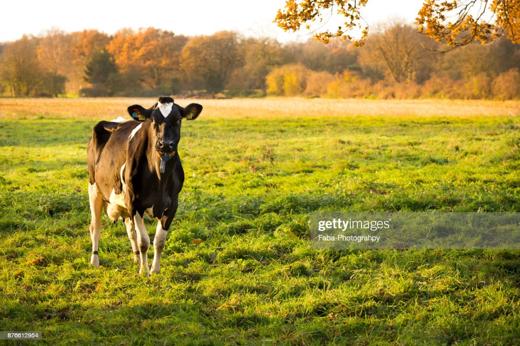 cow on field with