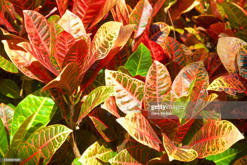 98 Garden Croton Photos And Premium High Res Pictures Getty Images