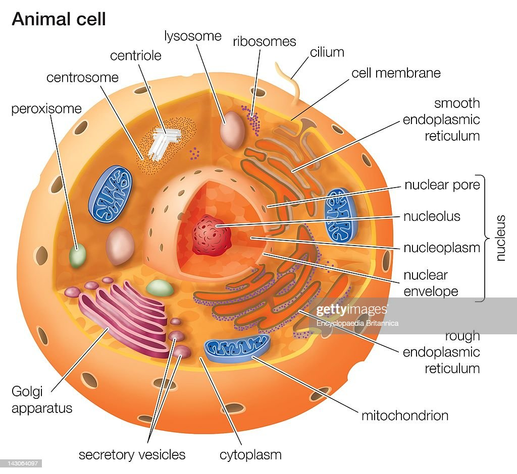 eukaryotic animal cell diagram moen shower valve parts cutaway drawing of a pictures