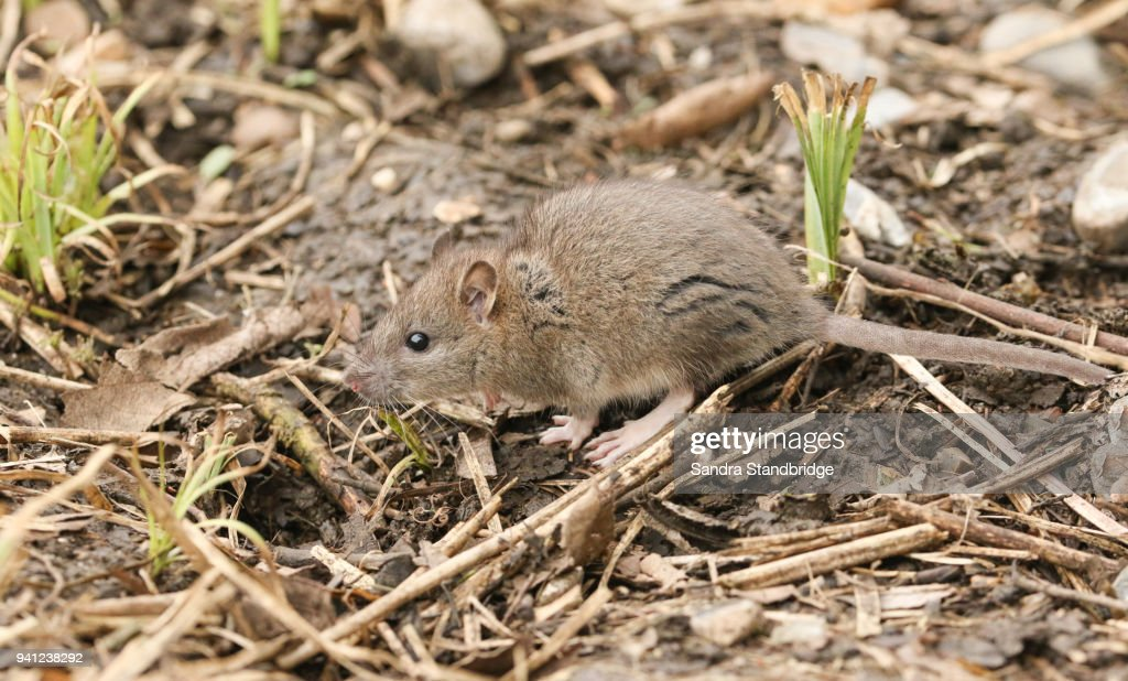 A Cute Baby Wild Brown Rat Searching For Food In The ...