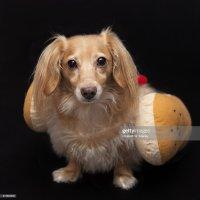 Dachshund Wearing Hot Dog Costume Stock Photo   Getty Images