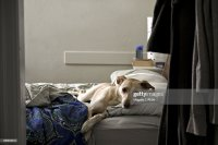 Dog Lying In Bed Stock Photo | Getty Images