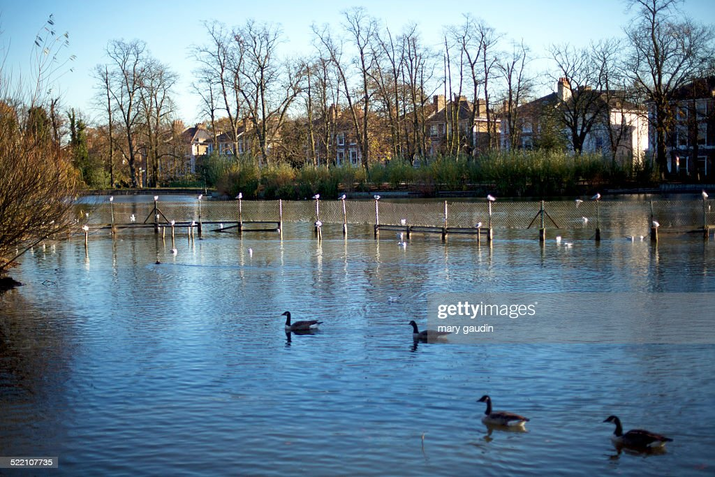 English Pond With Ducks High-Res Stock Photo - Getty Images