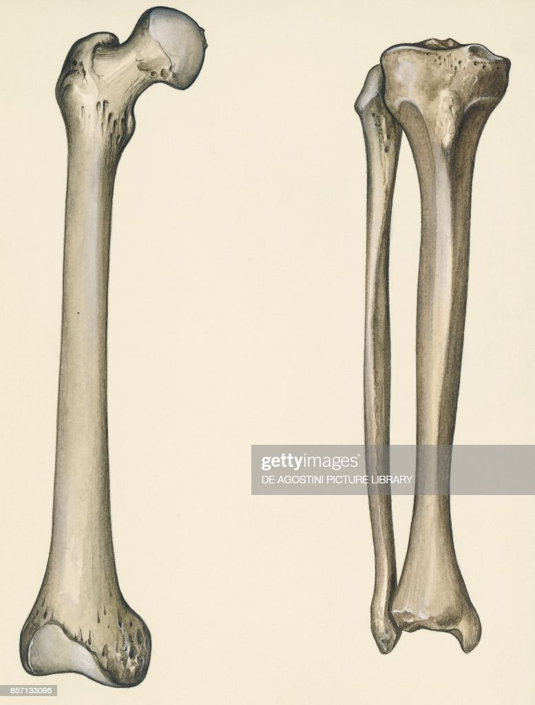 hight resolution of femur tibia and fibula human body drawing