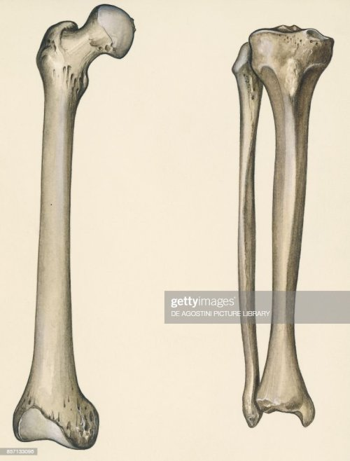 small resolution of femur tibia and fibula human body drawing