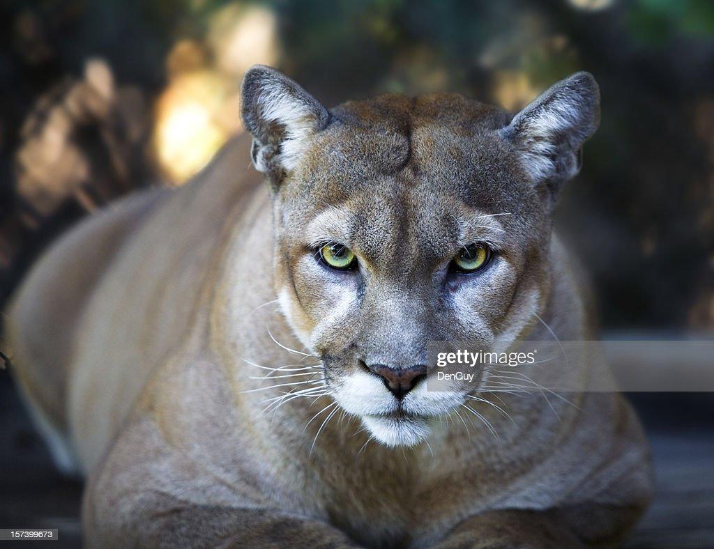 60 top mountain lion