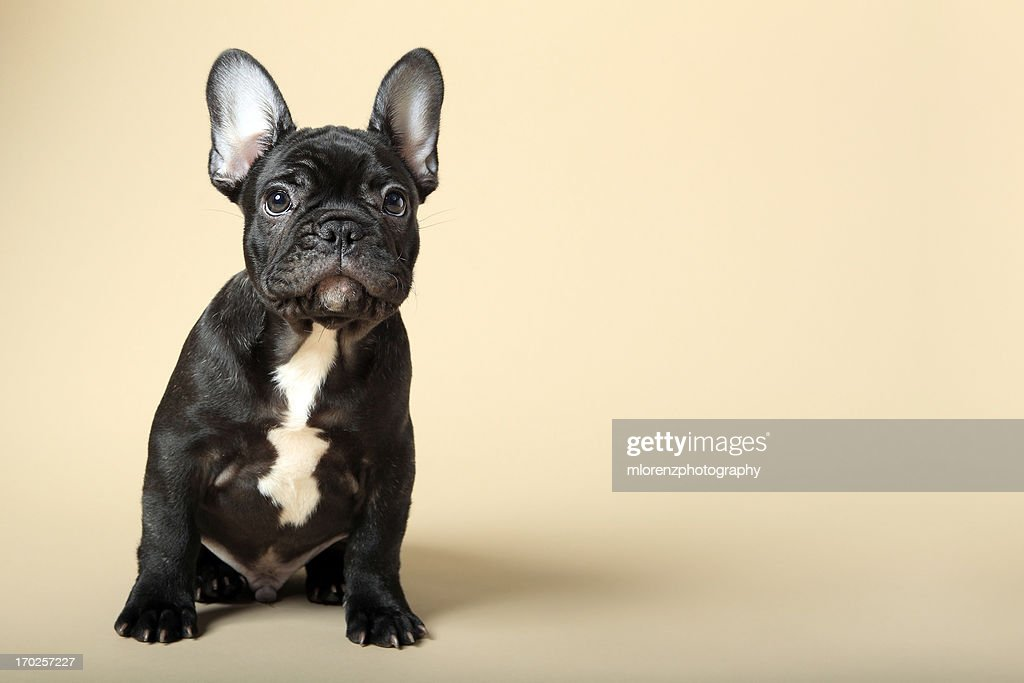 Cute Wallpapers For 12 Year Olds 60 Top French Bulldog Pictures Photos Amp Images Getty