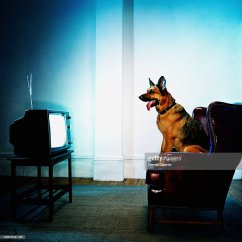 Dog High Chair Outdoor Lounge Chairs Walmart German Shepherd Sitting On Watching Television