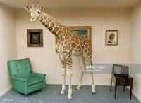 Giraffe Lustig Stock-Fotos und Bilder | Getty Images