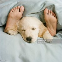 Golden Retriever Puppy Sleeping On Bed Stock Photo | Getty ...