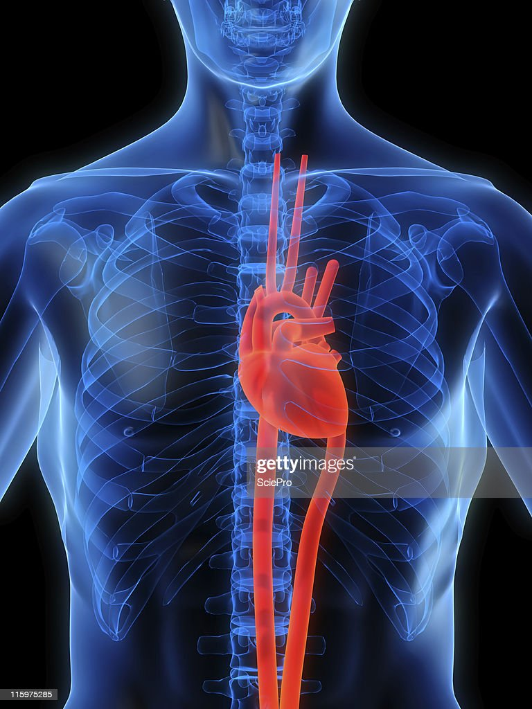 medium resolution of heart in chest stock photo