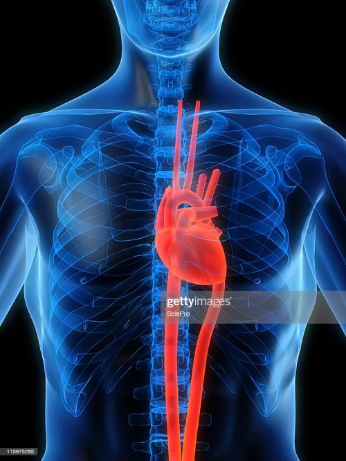 small resolution of heart in chest stock photo