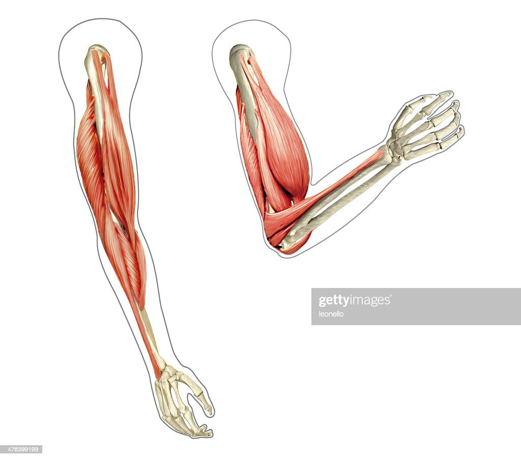 human arms anatomy diagram showing bones and muscles while flex picture id476399199?s\=170667a\&w\=1007?w=500 unlabeled sun diagram analyzing robustness of uml state machines