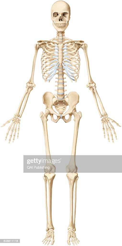 human bone structure diagram 2002 mercury mountaineer radio wiring skeleton stock photos and pictures the is made up of 206 articulated bones varying sizes